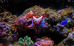 Linckii vermelho de Protoreaster da estrela de mar do botão fotos de stock royalty free