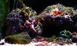 Linckii vermelho de Protoreaster da estrela de mar do botão foto de stock royalty free
