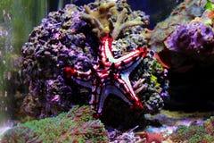 Linckii vermelho de Protoreaster da estrela de mar do botão imagens de stock