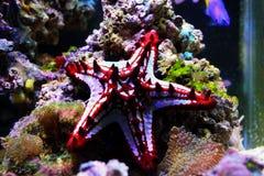 Linckii vermelho de Protoreaster da estrela de mar do botão fotografia de stock royalty free