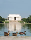 Lincoln Memorial Ducks. Ducks swimming in the reflecting pool in front of the Lincoln Memorial in Washington, DC Stock Photo