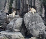 Lincoln Park Lionesses Royaltyfri Bild