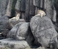 Lincoln Park Lionesses. This is a Winter picture of the Lincoln Park Zoo`s lionesses Zilika and Kamale enjoying an afternoon on their heated rocks at the Lincoln Royalty Free Stock Image