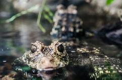 Lincoln Park Zoo - Baby Alligator / Crocodile Stock Photos