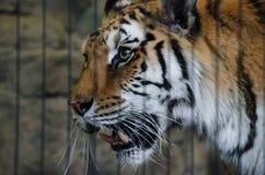 Lincoln Park Zoo - Captive tiger Royaltyfri Bild