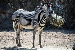 Lincoln Park Zoo - sebra som äter hö Arkivfoton