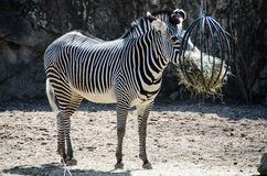 Lincoln Park Zoo - Zebra, das Heu isst Stockfotos