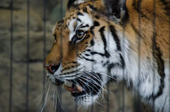 Lincoln parka zoo - Zmonopolizowany tygrys Obraz Royalty Free