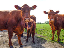Lincoln Red cows Stock Photo