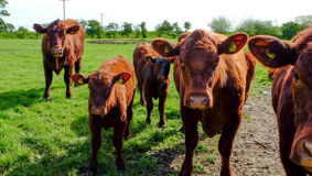 Inquisitive cows and calves. Stock Image