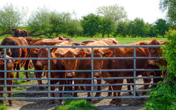 Lincoln Red cows Stock Images
