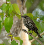 lincoln s sparrow Royaltyfri Foto