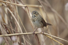 lincoln s sparrow Royaltyfri Bild