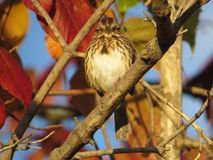 Lincoln's Sparrow In Autumn Stock Image