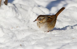 Lincoln's Sparrow in snow Stock Photography