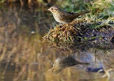 Lincoln's sparrow at water Stock Photo