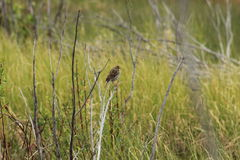 Lincoln Sparrow Arkivbilder