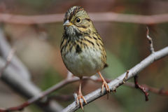 Lincolns Sparrow Royalty Free Stock Photo