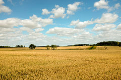 Lincolnshire  wheat field Stock Image