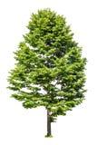 Lind för lövfällande träd som isoleras på vit Fotografering för Bildbyråer
