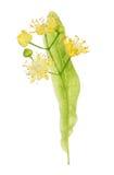 Lind som blommar blommor Fotografering för Bildbyråer