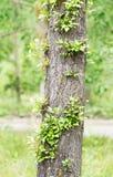 Lind-träd stam med nya kvistar Arkivbilder
