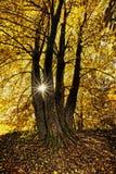 Lind-trädet häxan är mycket stor royaltyfri fotografi