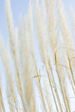 Linda. Leaves of grass of the pampa on Sky Stock Photography