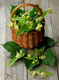 Linde-Baum-Blüte Lizenzfreie Stockbilder