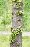 Linde-boom boomstam met nieuwe twijgen Stock Afbeeldingen