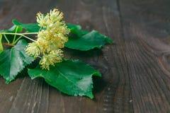 Lindeblüte mit grünem Blatt lizenzfreie stockbilder