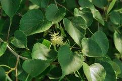 Lindebloem op achtergrond van groen hout Stock Fotografie