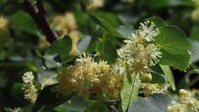 Lindebloemen op een boom in de zomer zonnige dag stock footage