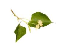 Lindeblumen stockfotografie