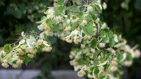 Lindeblumen auf grünen Niederlassungen Sommerbaumblüte Aromatherapie und grüner Kalktee Langsame Bewegung stock footage