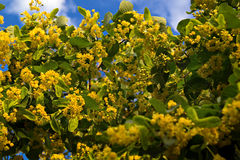 Lindeblumen gegen den Himmel lizenzfreie stockfotografie