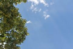 Lindeboom bloemrijk op de blauwe hemel stock foto's