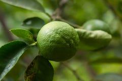 Lindeboom (citroen) Royalty-vrije Stock Foto's