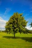 Lindeboom in de zomer Royalty-vrije Stock Foto