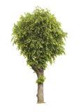 Lindeboom die op een witte achtergrond wordt geïsoleerde Stock Foto's