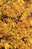 Lindeboom in het de herfstbos Royalty-vrije Stock Afbeelding