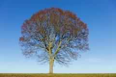 Lindeboom op blauwe hemel Stock Fotografie
