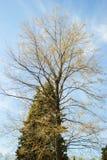 Linden με μπλε fir-tree Στοκ Εικόνες