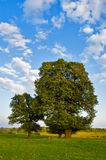 Linden. Inden tree on the  landscapes Royalty Free Stock Photos