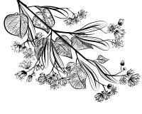 Linden. Illustration of medicinal plant Linden Stock Photos
