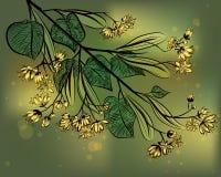 Linden. Illustration of medicinal plant Linden Royalty Free Stock Image