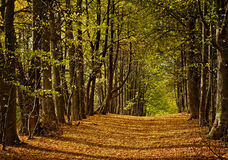 Linden alley in autumn Royalty Free Stock Photo