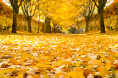 Linden alley in autumn. Stock Image
