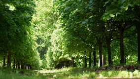 Linden alley in a sunny summer sun Stock Image