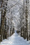 A linden alley in the winter forest covered with white snow. Stock Photo